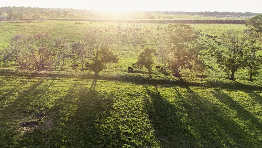 bulls and sheep on pasture at sunset multispecies grass-fed humanely raised certified humane holistic management regenerative farming