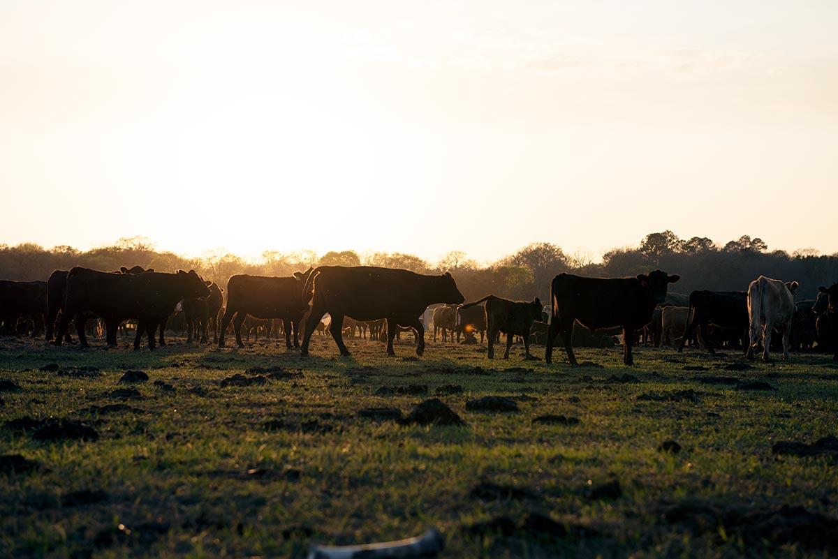 cattle-animal-impact