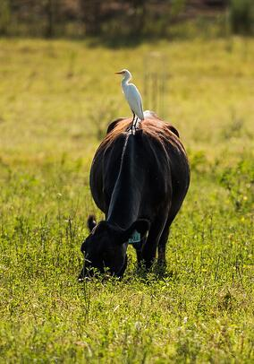 This egret is hitching a ride on pastured cattle at White Oak Pastures