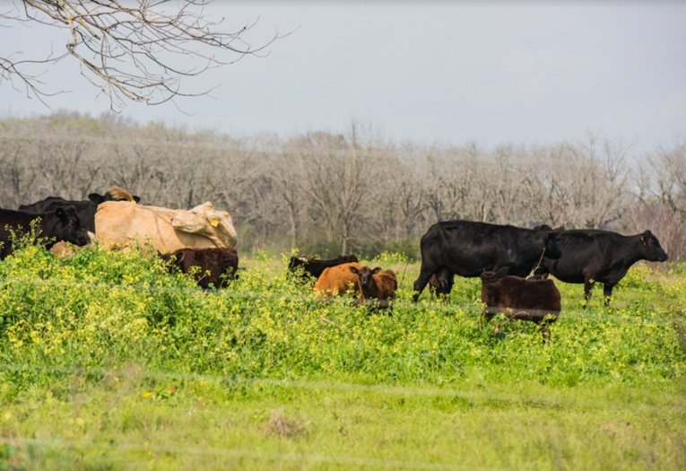 Grassfed pastured cattle at White Oak Pastures in Bluffton Georgia