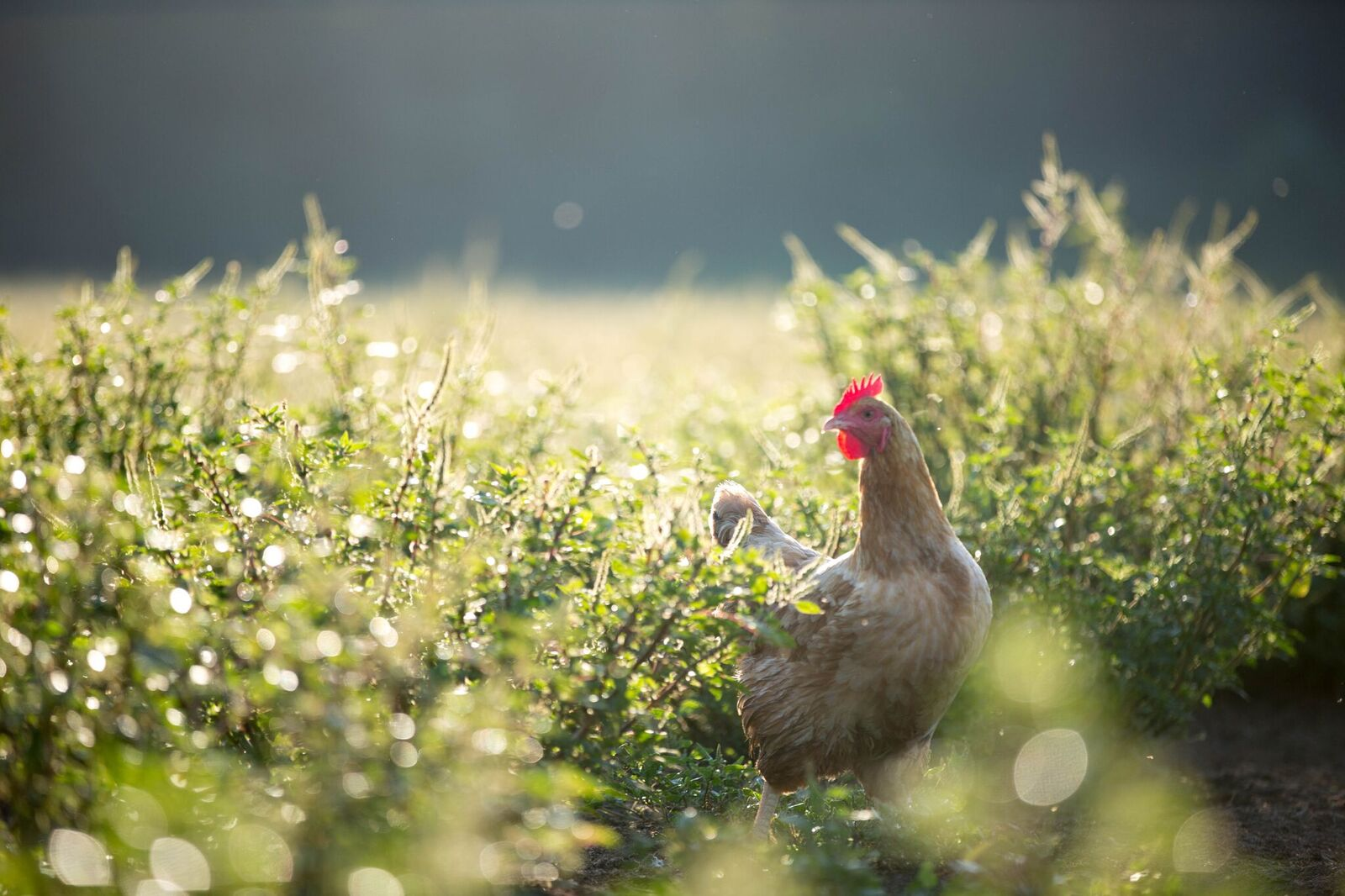Pastured chicken eggs and meat are produced by our pastured poultry