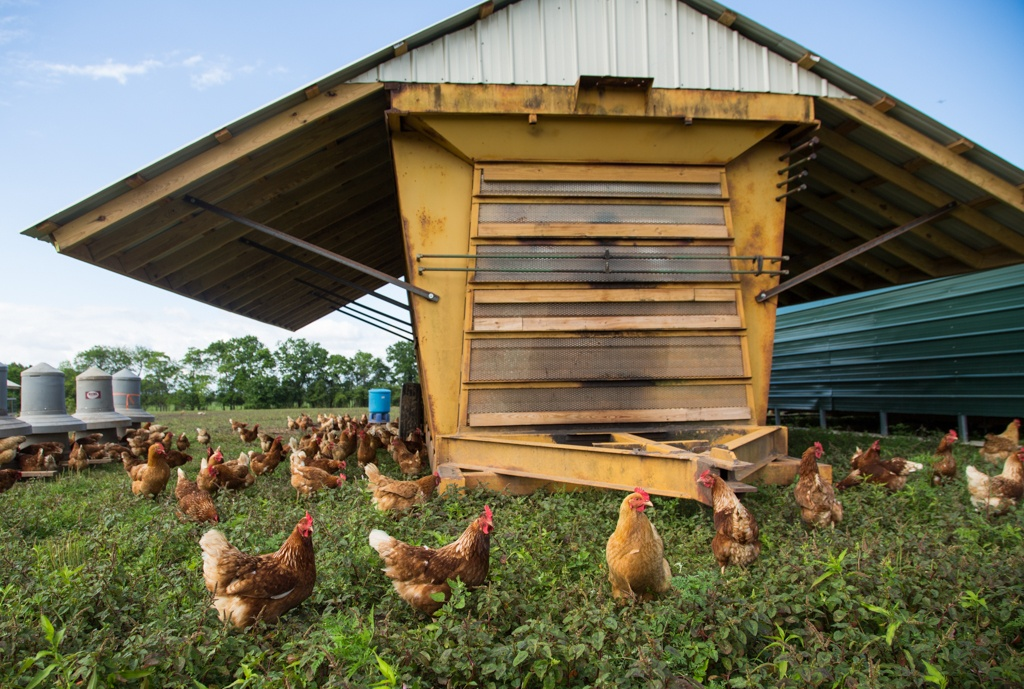 A restored cotton module for certified Humane, Non-GMO, pasture-raised laying hens.