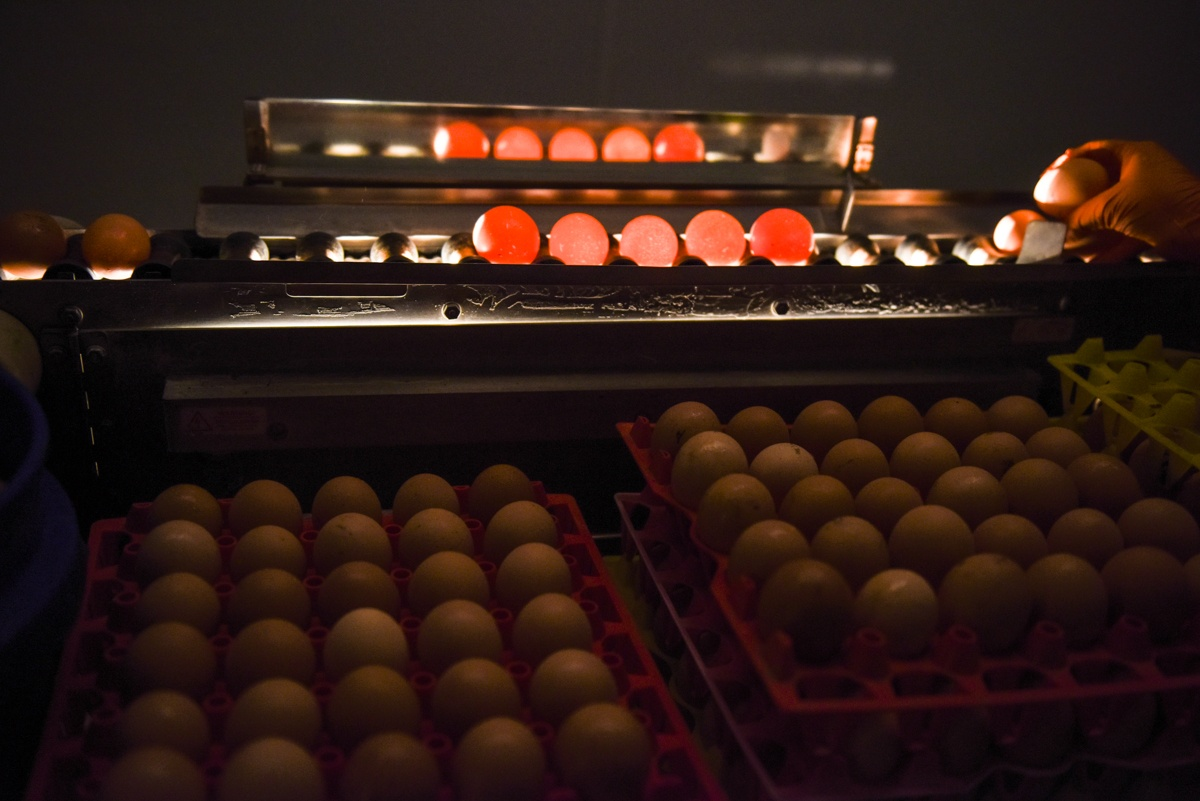 egg candling machine process
