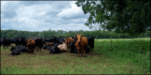 energy cycle grassfed cattle on pasture