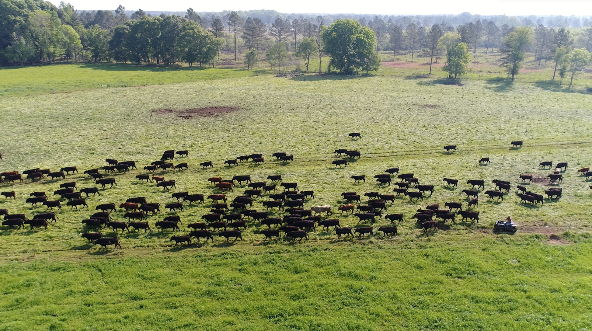 Graham Phillips uses a four wheeler to herd bulls for rotational grazing.