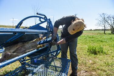 Graham Phillips trims the hoofs of an animal at White Oak Pastures.