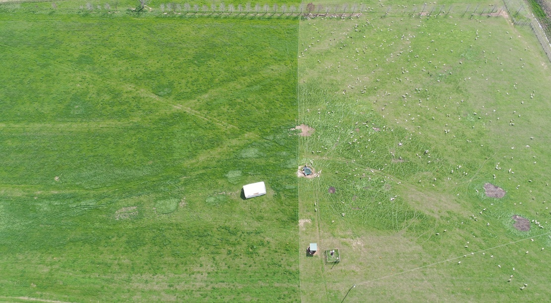 Aerial photo of rotational grazing at White Oak Pastures in Bluffton GA