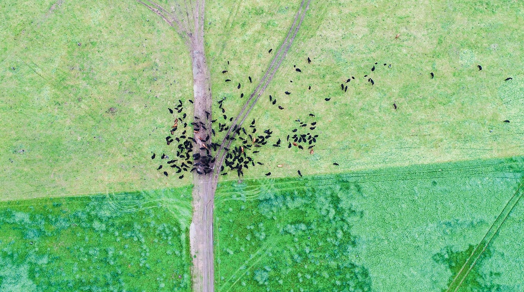 The herd in halfway moved into new pastures