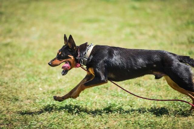 herdingdogs-0020.jpg