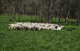 herdingdogs-6077.jpg