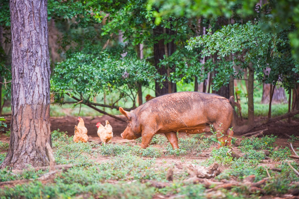 hogs exploring the forest undergrowth with several laying hens pasture raised livestock