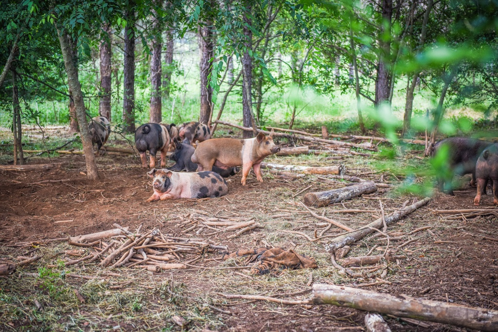 hogs are part of our silvopasture land regeneration