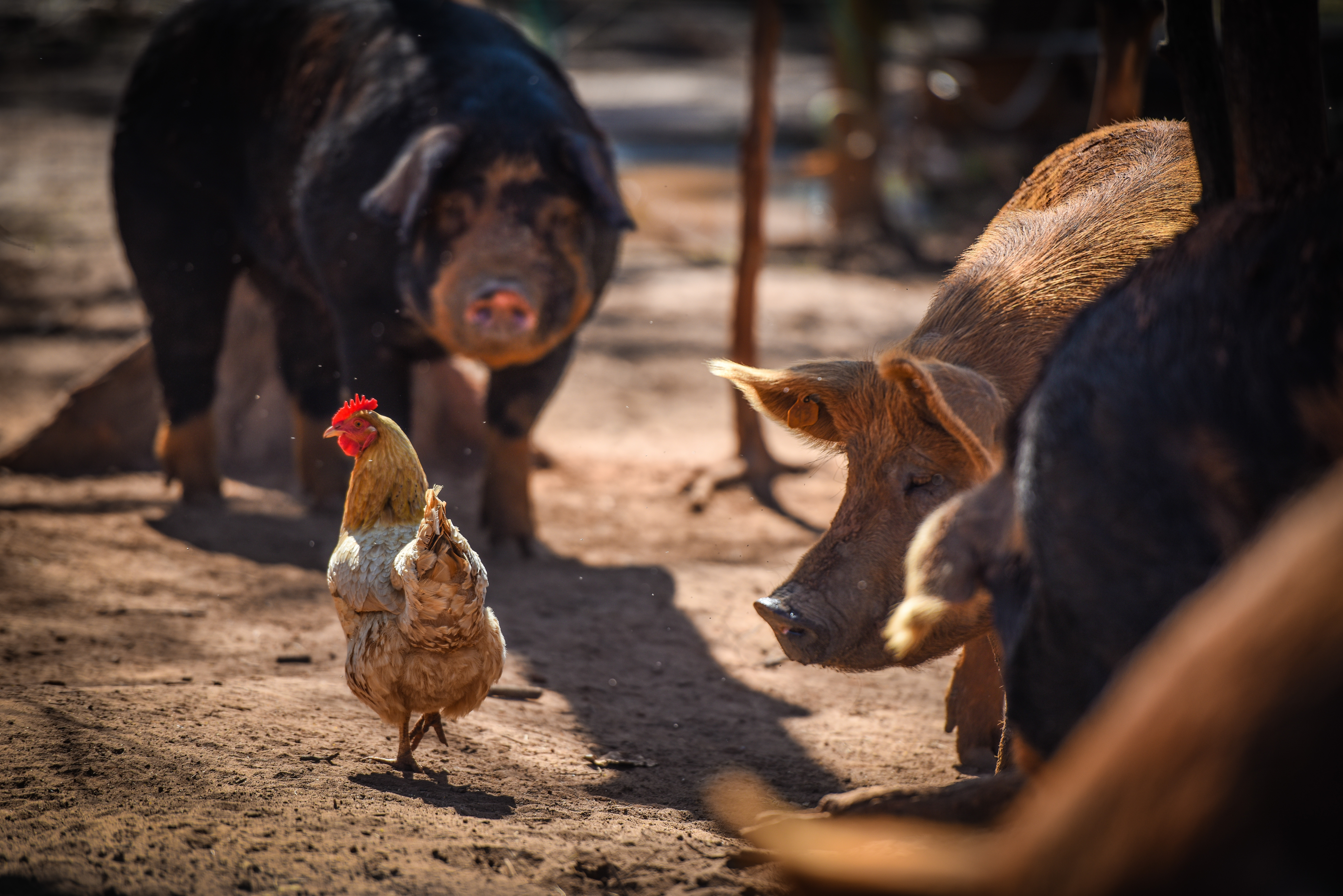 Hogs watching a laying hen at White Oak Pastures