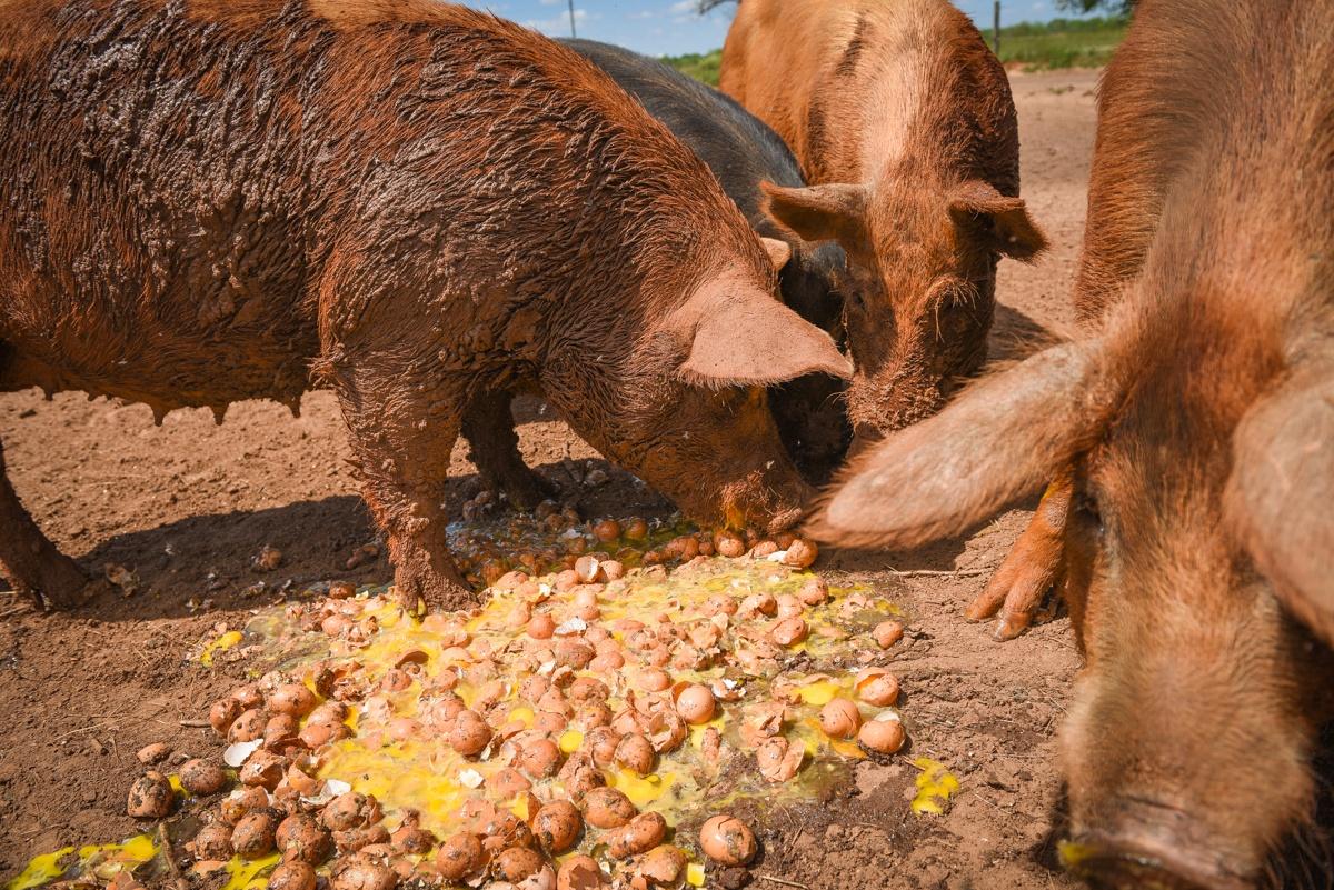 hogs-eggs-3626