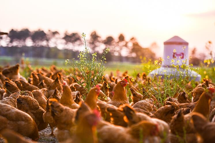 laying hens free range on pasture for pasture raised eggs regenerative agriculture