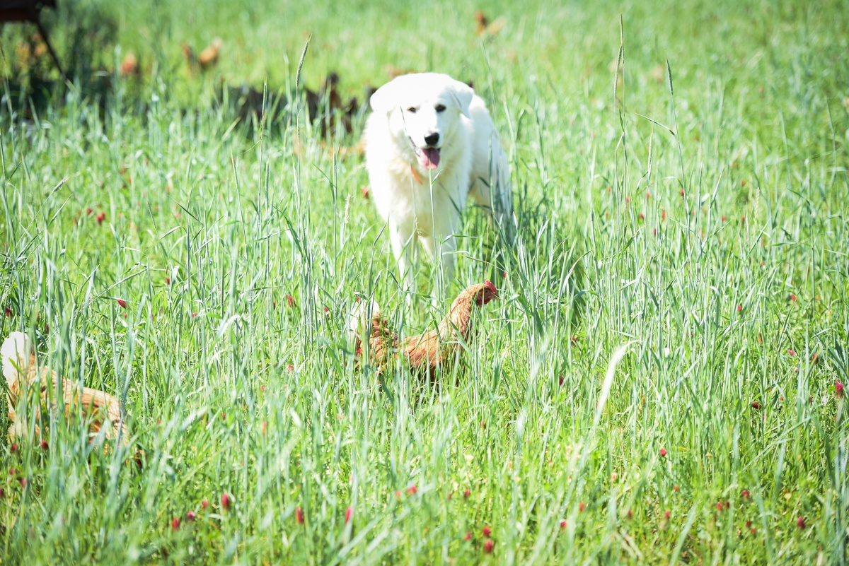 livestock guardian dog laying hen