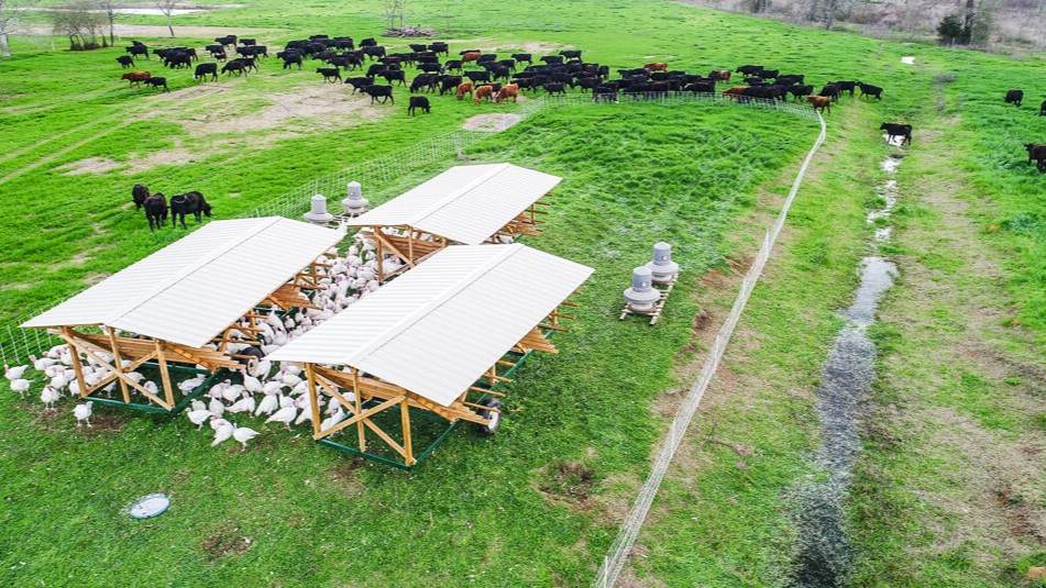 low angle turkey cows grazing pasture drone