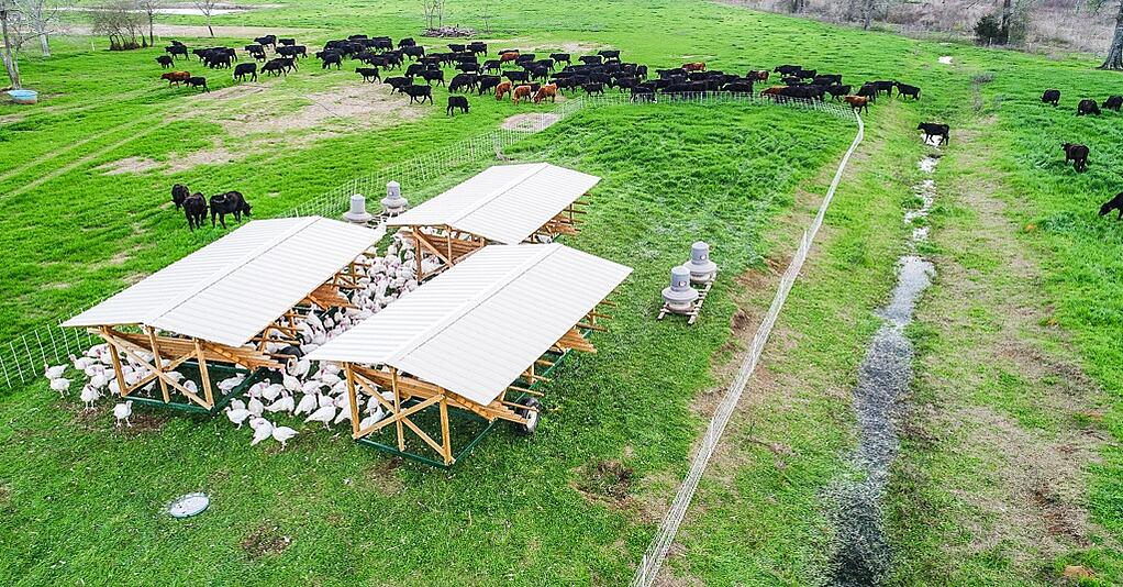 Multispecies regenerative farming includes turkeys alongside cows