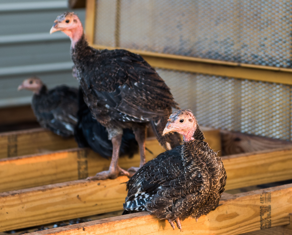 Turkeys wake up in their new coop at White Oak Pastures