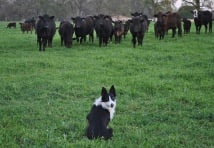 pancho-and-cattle.jpg