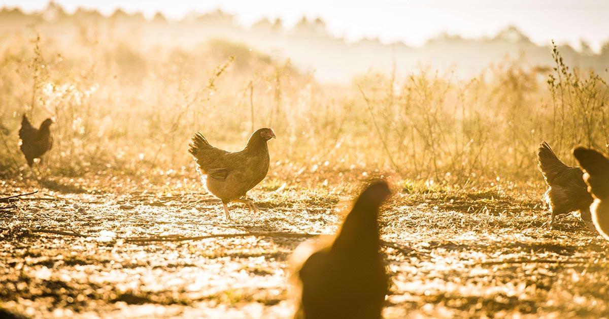 pasture raised chicken in pasture