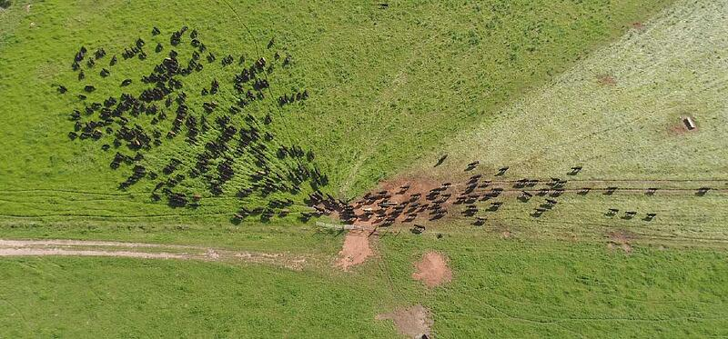 Pasture-raised cows seen from a drone being moved to regenerate cropland.