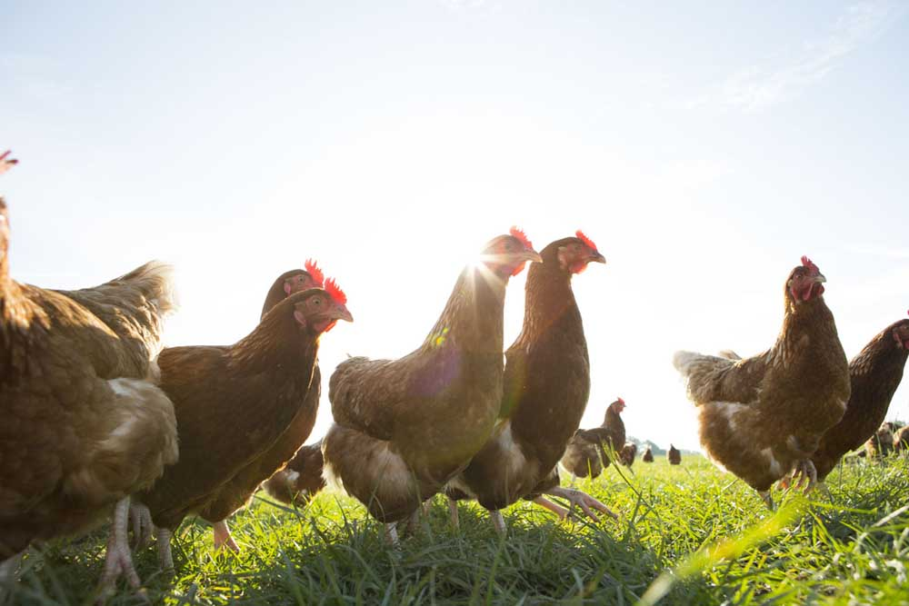 White Oak Pastures poultry live outdoors day and night