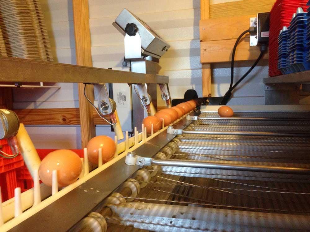 Pastured eggs at candling facility