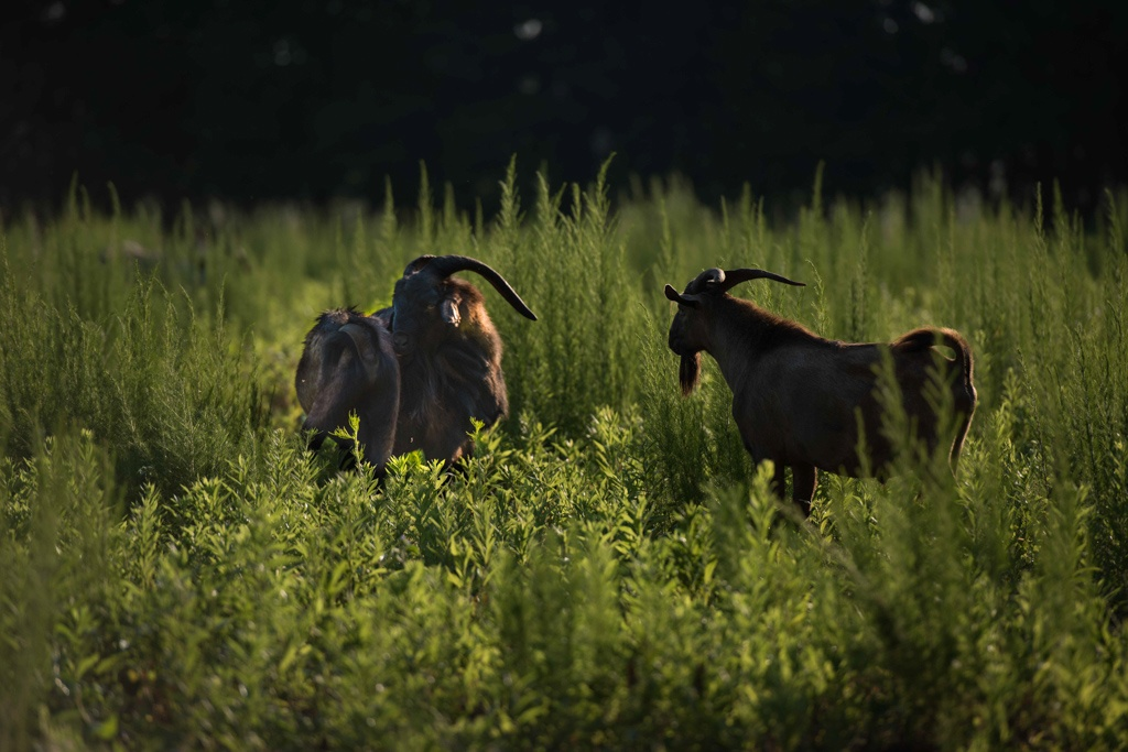 goats in our regeneratively managed pastures