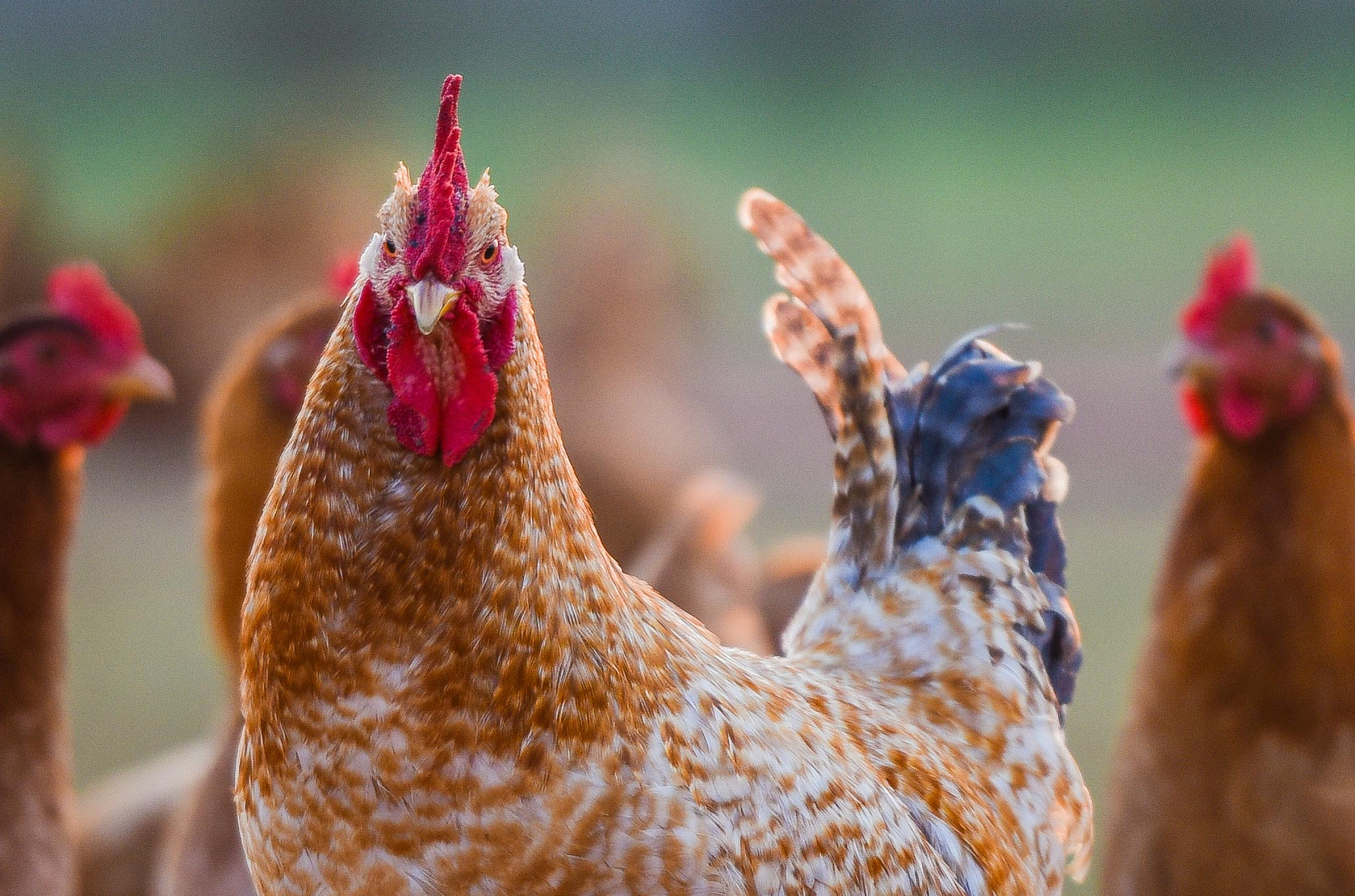 roosterswithlayers-0565-2.jpg
