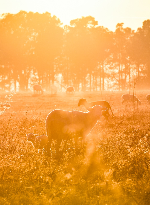 Sheep and lamb grazing at White Oak Pastures