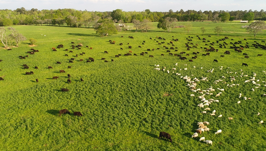 sheep grazing with bulls on fresh pasture planned grazing holistic land management multi species grass-fed meat