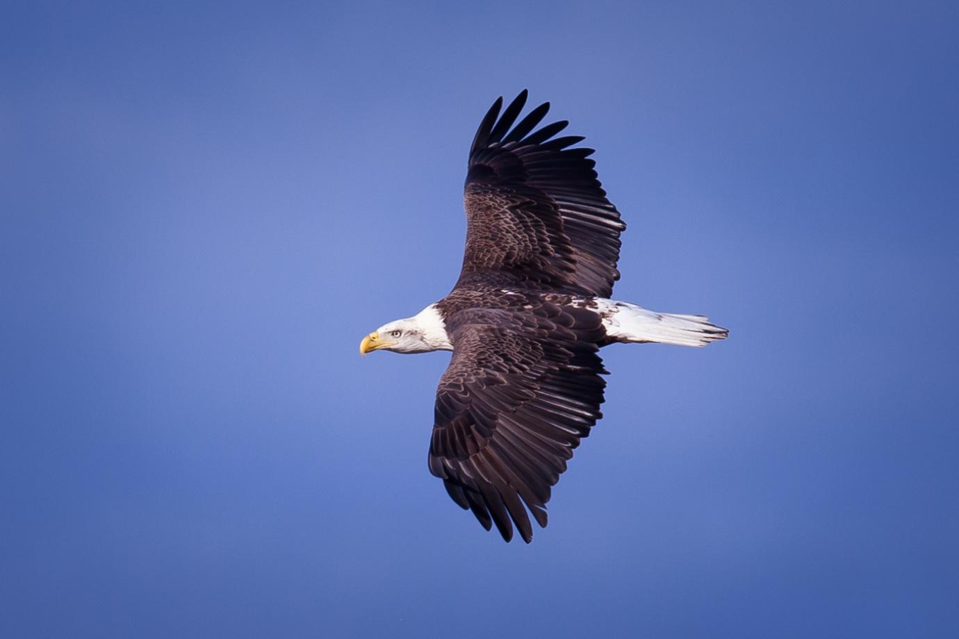 white-oak-pastures-bald-eagles-105.jpg