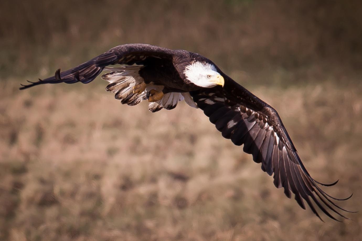 white-oak-pastures-bald-eagles-123.jpg
