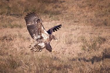 white-oak-pastures-bald-eagles-81 (1)