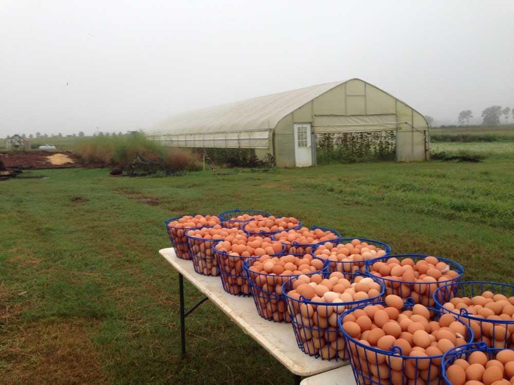 Gathering White Oak Pastures chicken eggs
