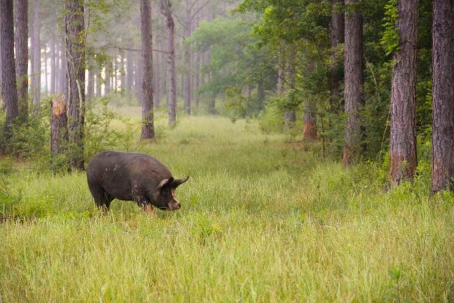 white-oak-pastures-hog