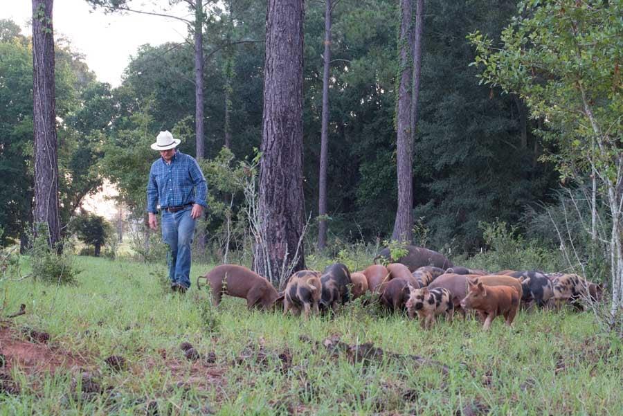 white-oak-pastures-piglets