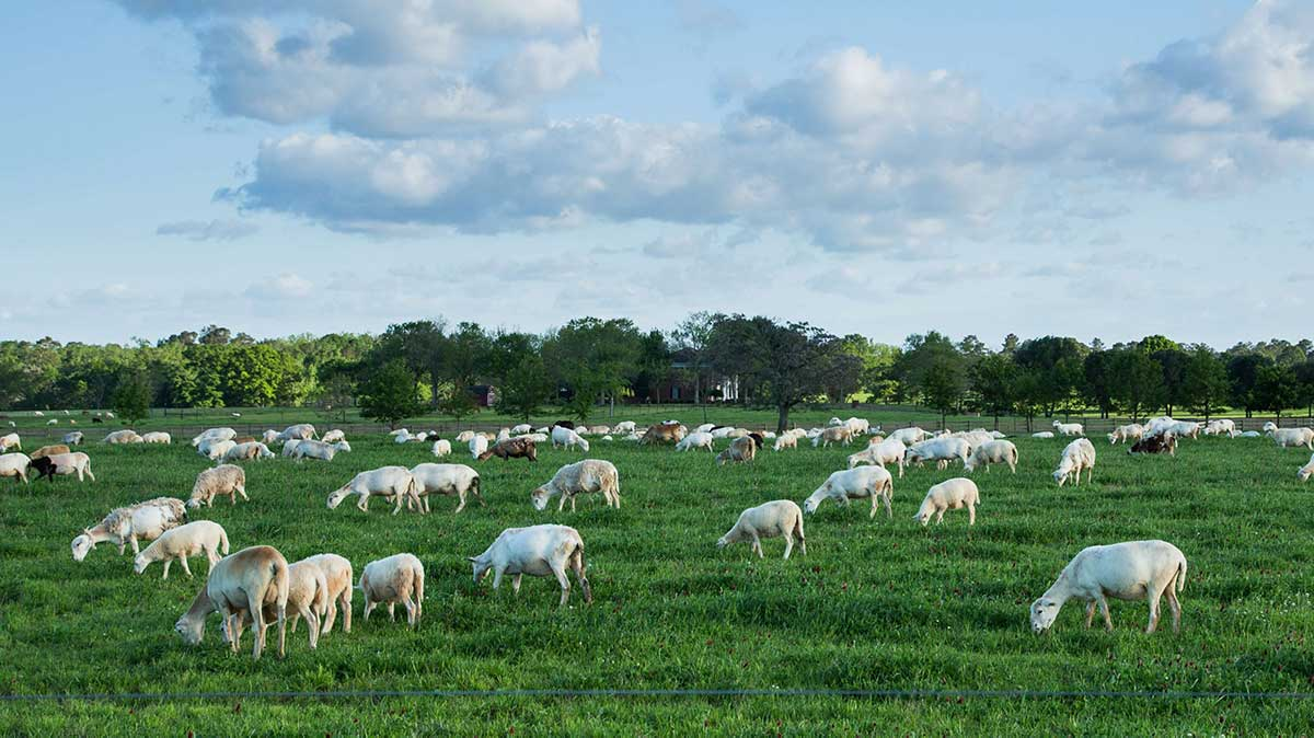 white-oak-pastures-silicon-ranch-regenerative-energy-sheep-pasture-raised
