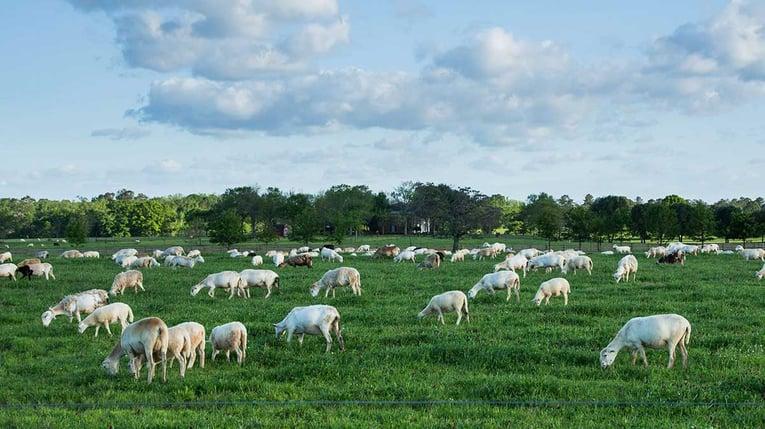 white-oak-pastures-silicon-ranch-regenerative-energy-sheep-pasture-raised