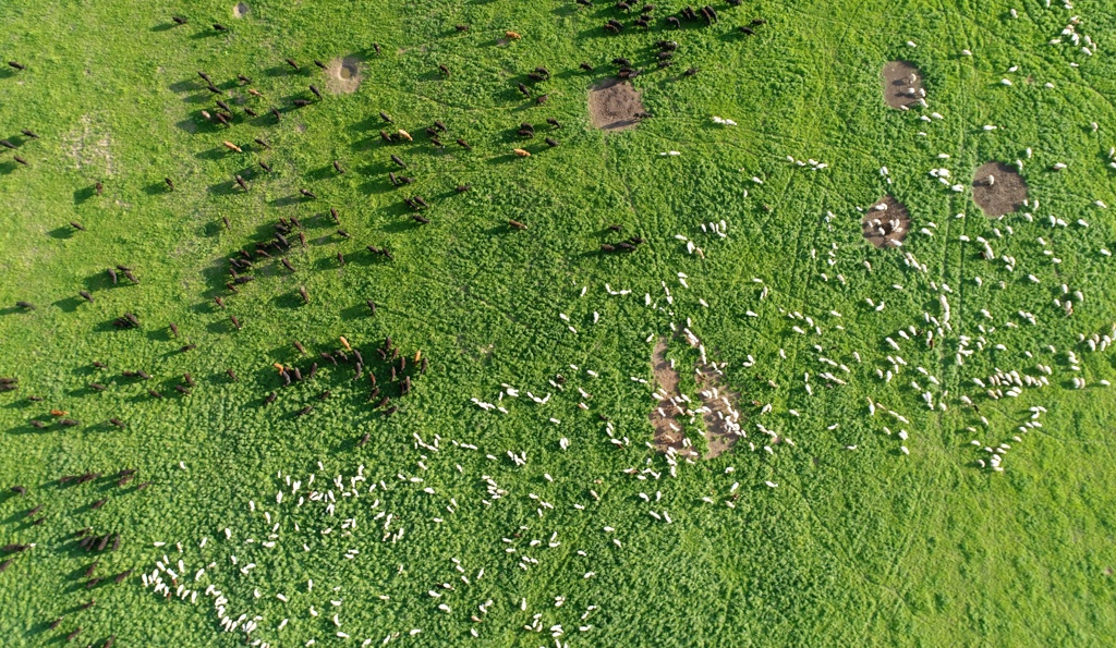 sheep and bull calves multispecies grazing