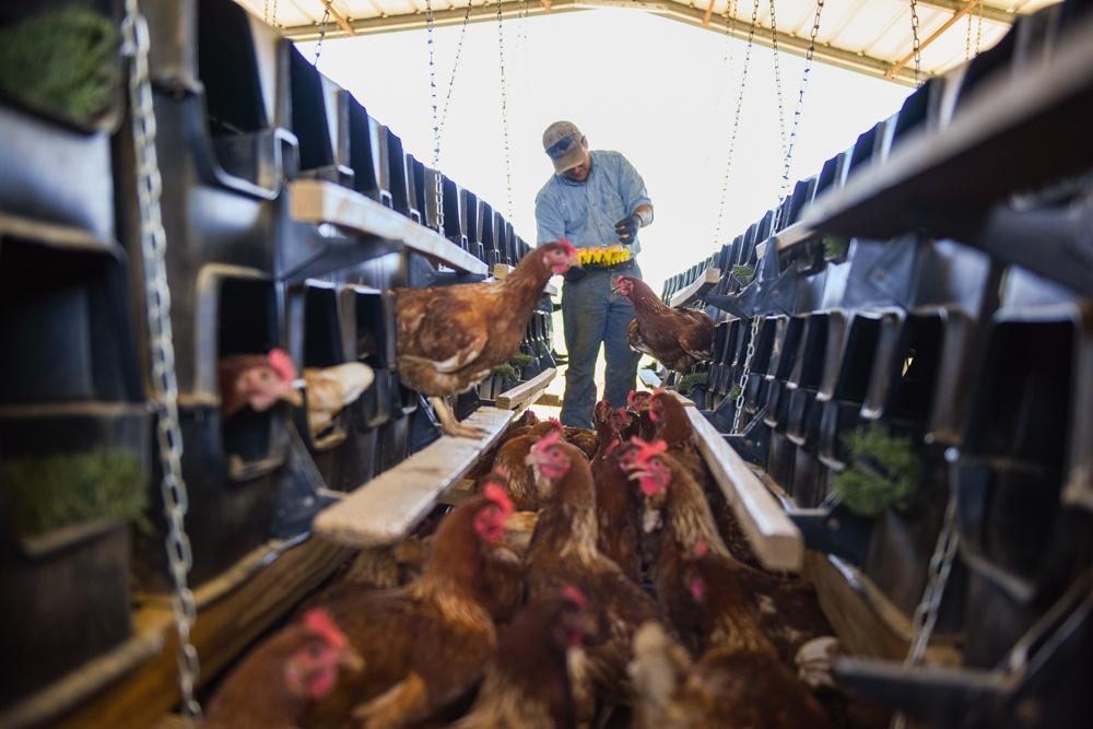 laying hens pasture raised eggs