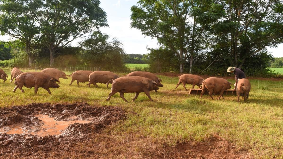 WOP-Iberian-pigs-16-9