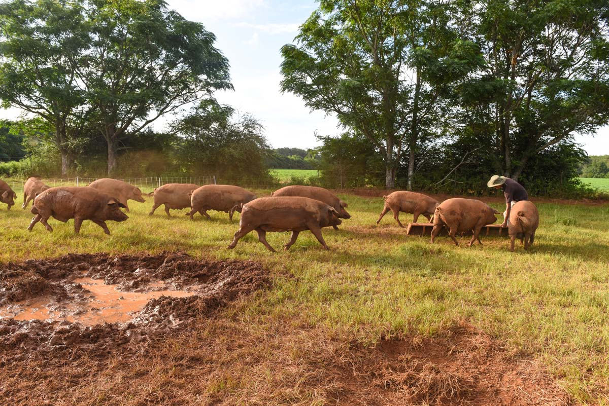 WOP Iberian Pigs