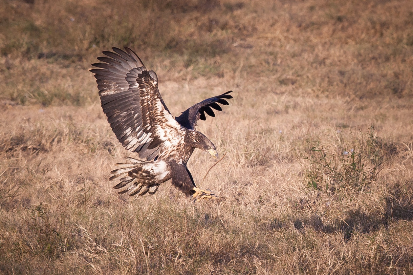 white-oak-pastures-bald-eagles-81 (1)