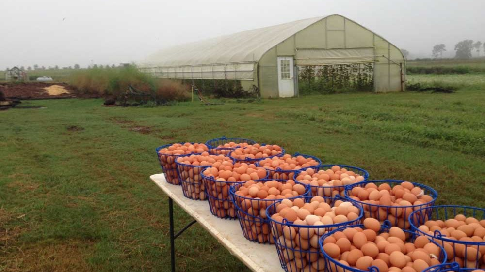 Gathering White Oak Pastures chicken eggs