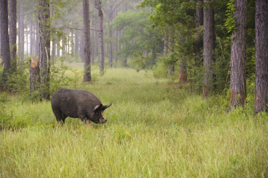 white-oak-pastures-hog